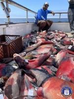 Redondo Beach Sportfishing  - Navegante - Sheephead